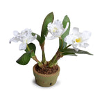 Cattleya Orchid, White - New Growth Designs