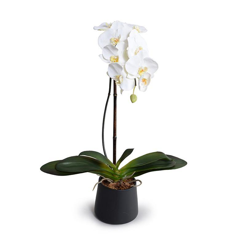 "Phalaenopsis Orchid x1 in Black Ceramic Bowl, 27""H - White - New Growth Designs"