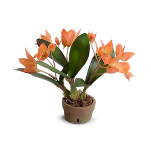 Disa Orchid plant - New Growth Designs