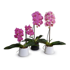 "Phalaenopsis Orchid x1 in Black Ceramic Bowl, 27""H - Fuchsia - New Growth Designs"