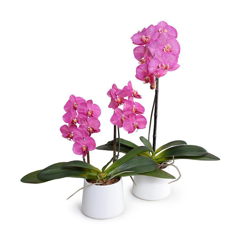 "Phalaenopsis Orchid x2 in White Ceramic Bowl, 18""H - Fuchsia - New Growth Designs"