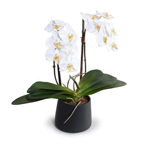 "Phalaenopsis Orchid x2 in Black Ceramic Bowl, 18""H - White - New Growth Designs"