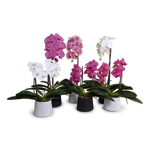 "Phalaenopsis Orchid x1 in White Ceramic Bowl, 27""H - Fuchsia-Cream - New Growth Designs"