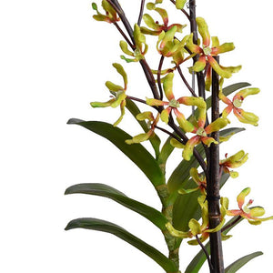 Aranda Orchid, Green-red - New Growth Designs