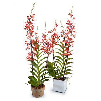 Aranda Orchid in Mirror Vase - Red