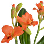 Cattleya Orchid in Mirror Vase - Orange