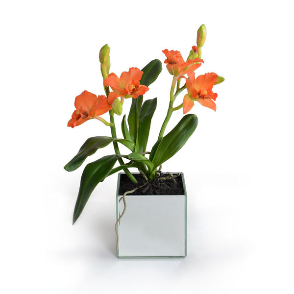 Cattleya Orchid - New Growth Designs