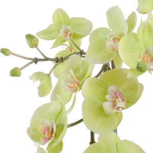 Phalaenopsis Orchid x2, Hanging - Green