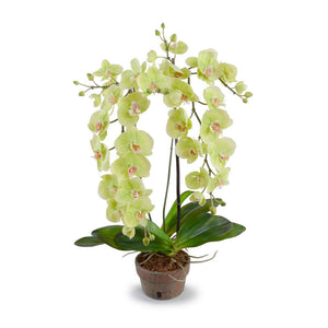 Hanging Phalaenopsis Orchid - New Growth Designs