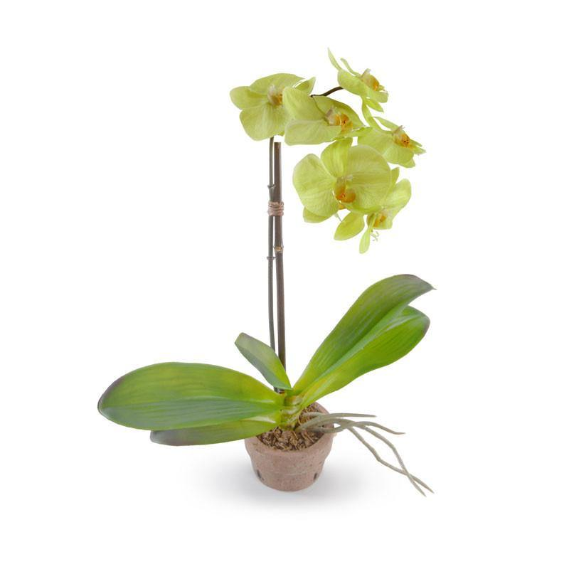 Phalaenopsis Orchid in Rustic Terracotta - Green