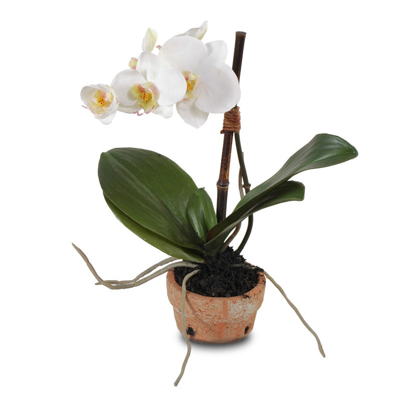 Phalaenopsis Orchid in Rustic Terracotta - White