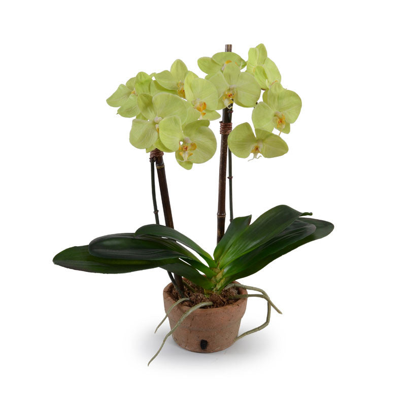 Phalaenopsis Orchid x2 in Rustic Terracotta - Green