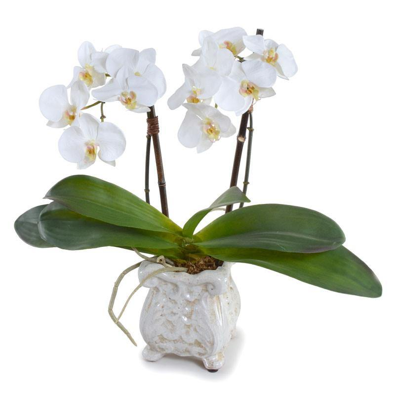 Phalaenopsis Orchid x2 in Ceramic Pot - White - New Growth Designs