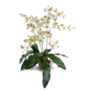Hybrid Oncidium Orchid - New Growth Designs