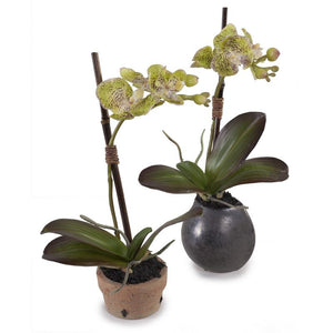Phalaenopsis Orchid Mini (Spotted) - Green
