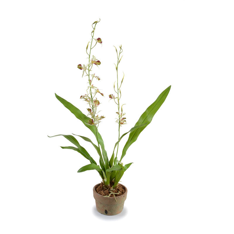 Spider Orchid in Terracotta - White