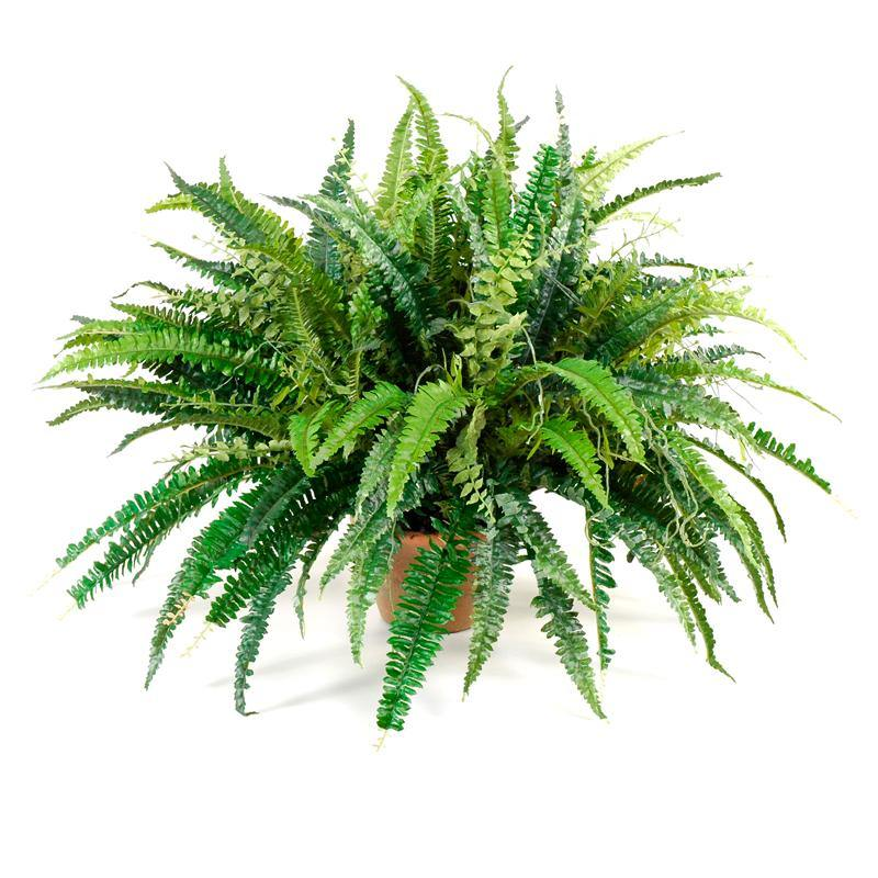 "Forest Fern in 6"" Rustic Terracotta Pot"