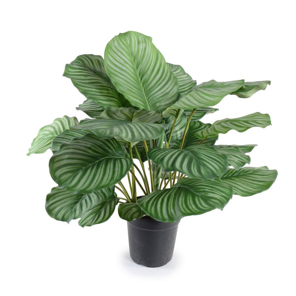 "26"" Calethea Plant - New Growth Designs"