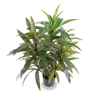 "Dracaena Plant, Red-green 36"" - New Growth Designs"