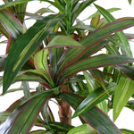 "Dracaena Plant, 36"" - Red-Green"