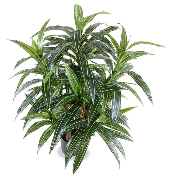 3' Variegated Dracaena Plant - New Growth Designs
