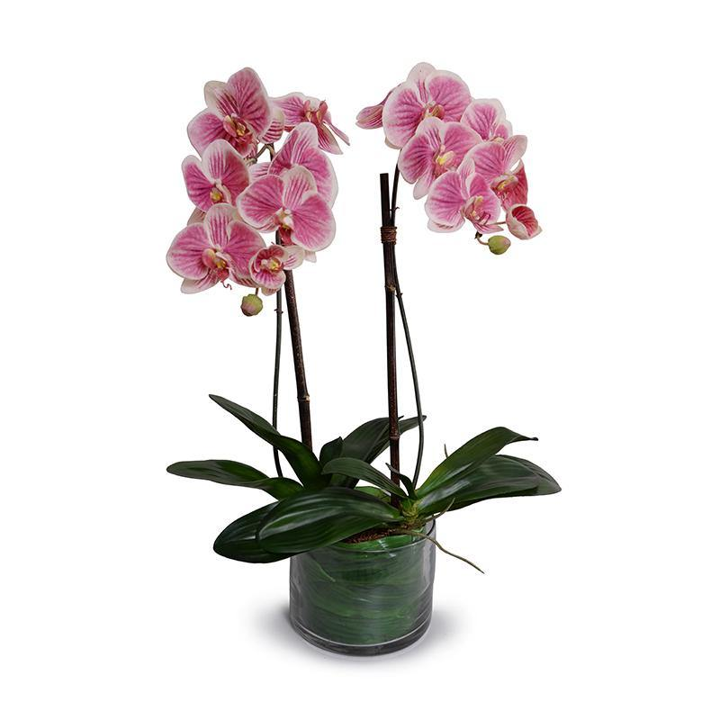 Phalaenopsis Orchid x2 Leaf It - Fuchsia/cream