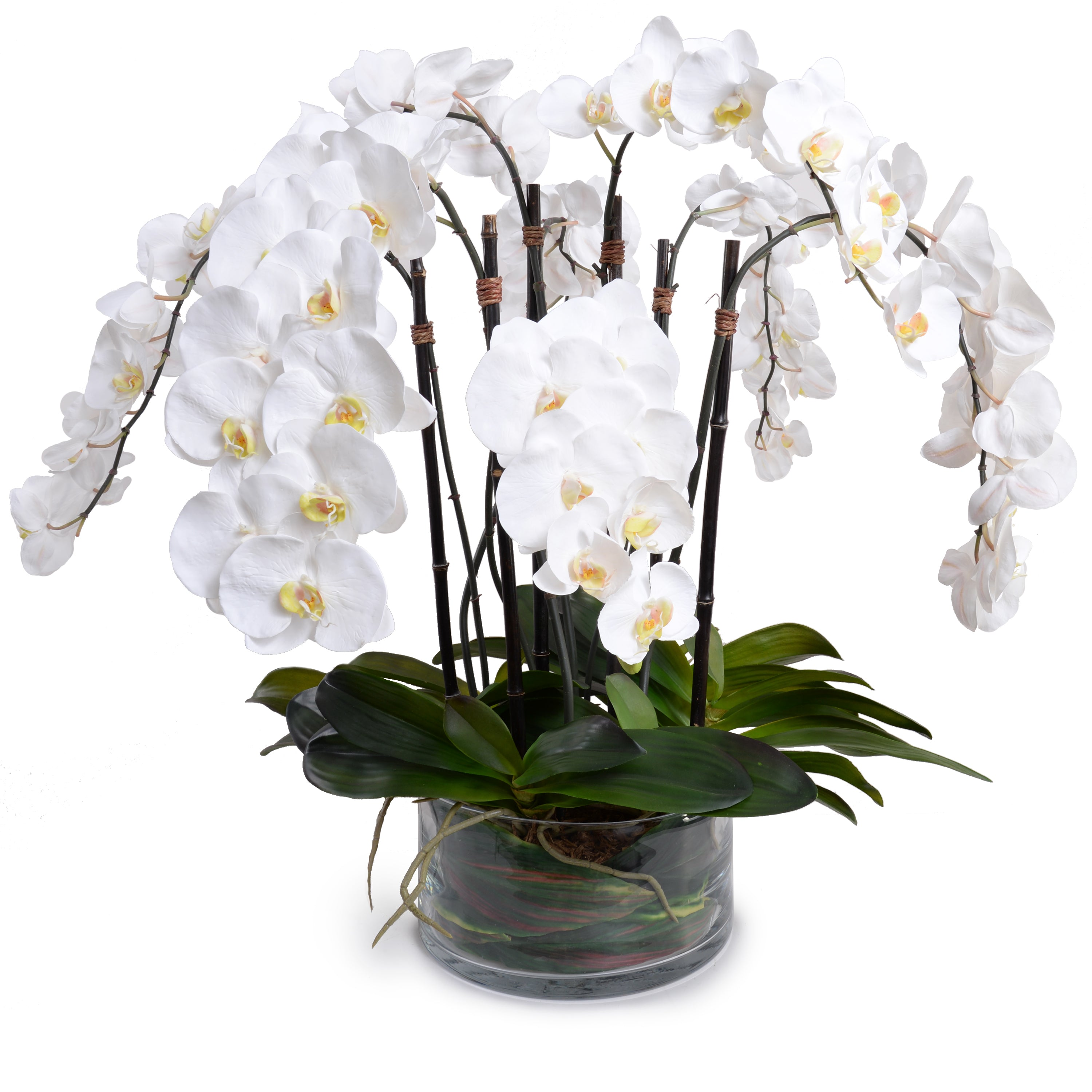 Phalaenopsis Orchid x8 Leaf It - White