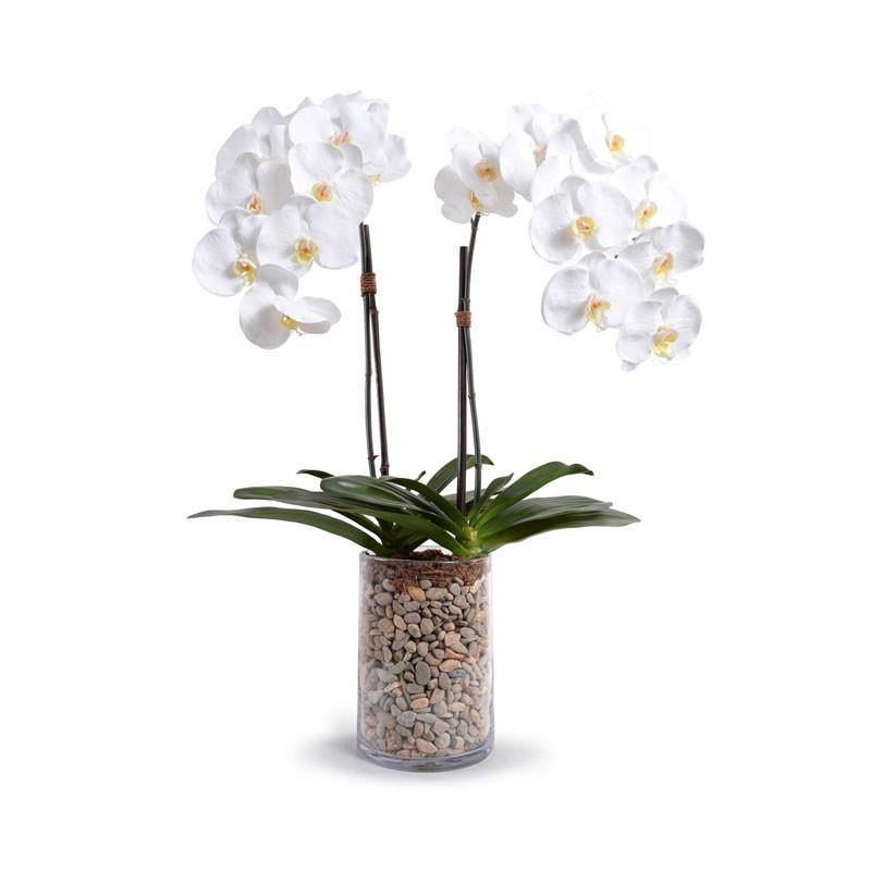 Phalaenopsis Orchid x2 in Glass Cylinder - White - New Growth Designs