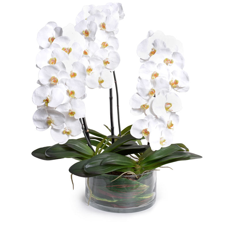 Phalaenopsis Orchid x3 Leaf It - White