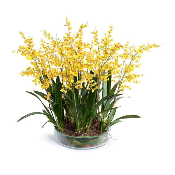 Oncidium Orchid Leaf It