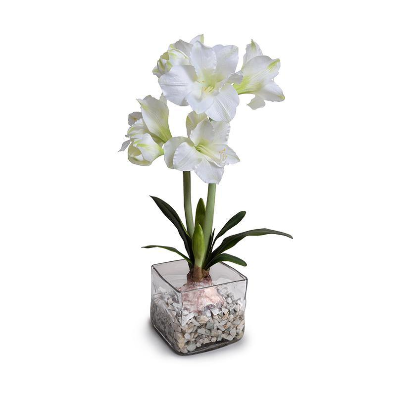 Amaryllis in Glass Cube - White