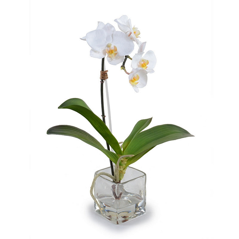 Phalaenopsis Orchid in Glass Cube - White