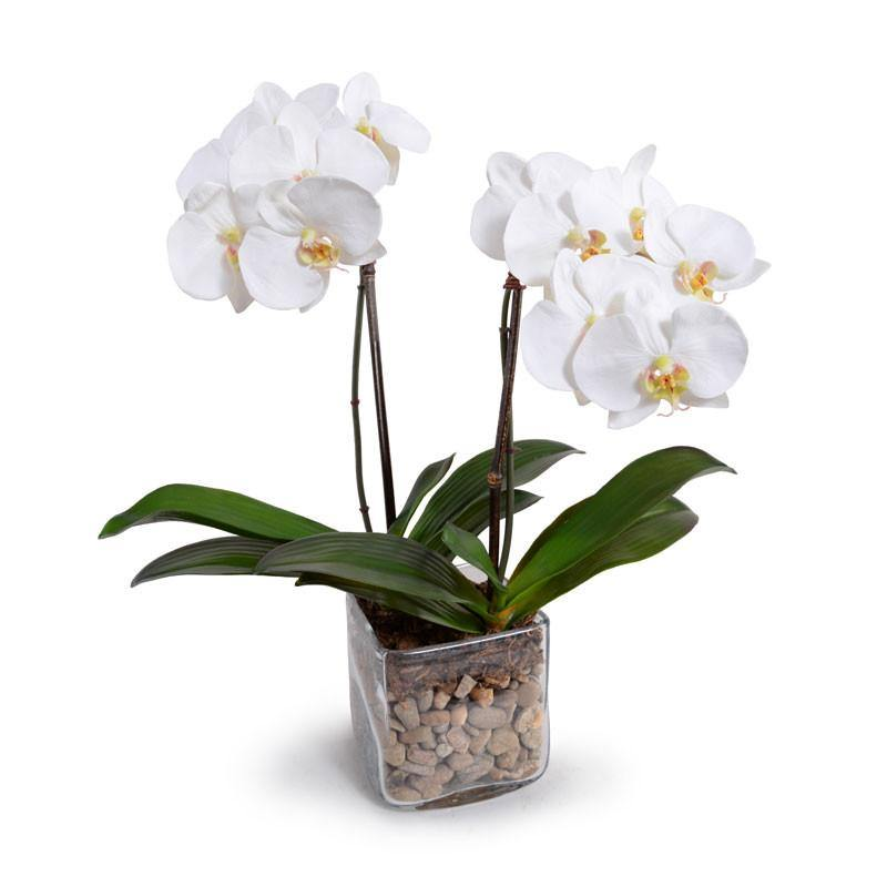 Phalaenopsis Orchid x2 in Glass Cube - White - New Growth Designs