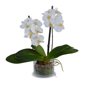 Phalaenopsis Orchid Leaf It