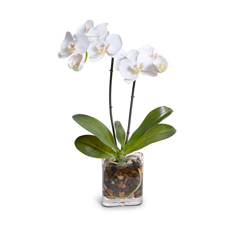Phalaenopsis Orchid x2 in Glass Envelope - White - New Growth Designs