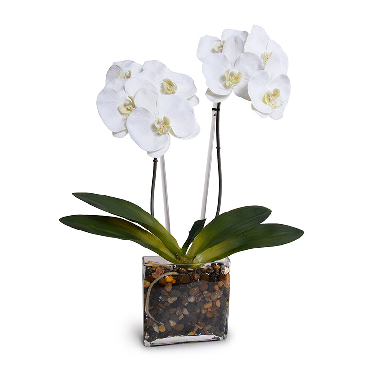 Phalaenopsis Orchid x2 in Glass Envelope - White