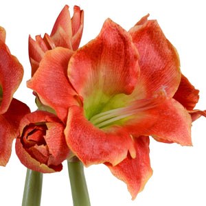 Amaryllis Plant - New Growth Designs