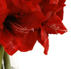 Amaryllis Arrangement - Red - New Growth Designs