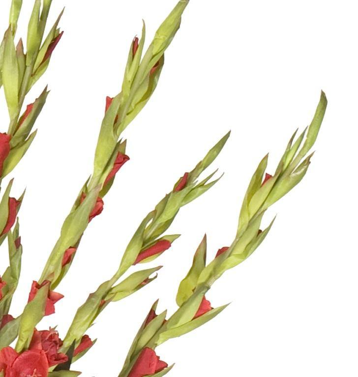Gladiolus Arrangement in Glass - Red - New Growth Designs