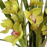 Cymbidium Orchid - Green