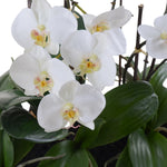 Phalaenopsis Orchid Flowerscape - White