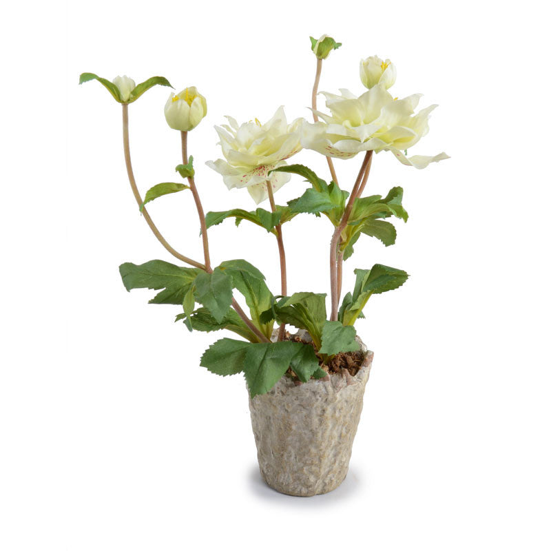 Helleborus (Lenten Rose) - New Growth Designs