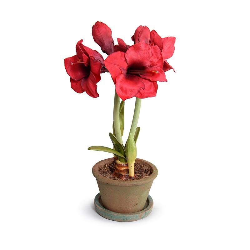 Amaryllis Plant in clay pot - Red