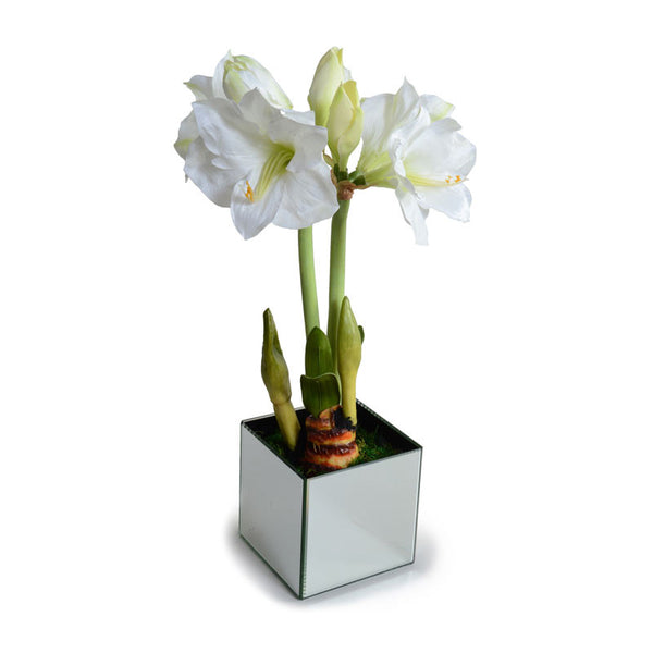 Blooming Amaryllis Bulb - New Growth Designs