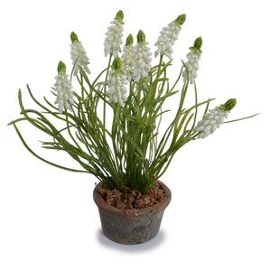 Grape Hyacinth in Terracotta - White