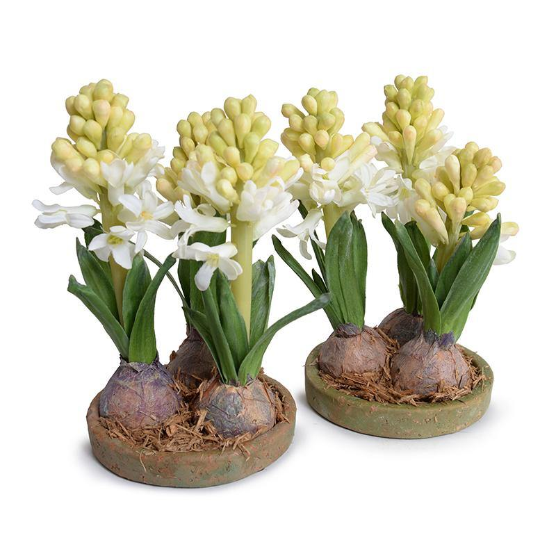 Hyacinth Bulb x3 in Terracotta Dish - White - New Growth Designs