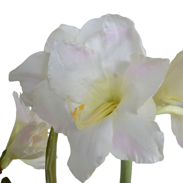 Amaryllis - New Growth Designs