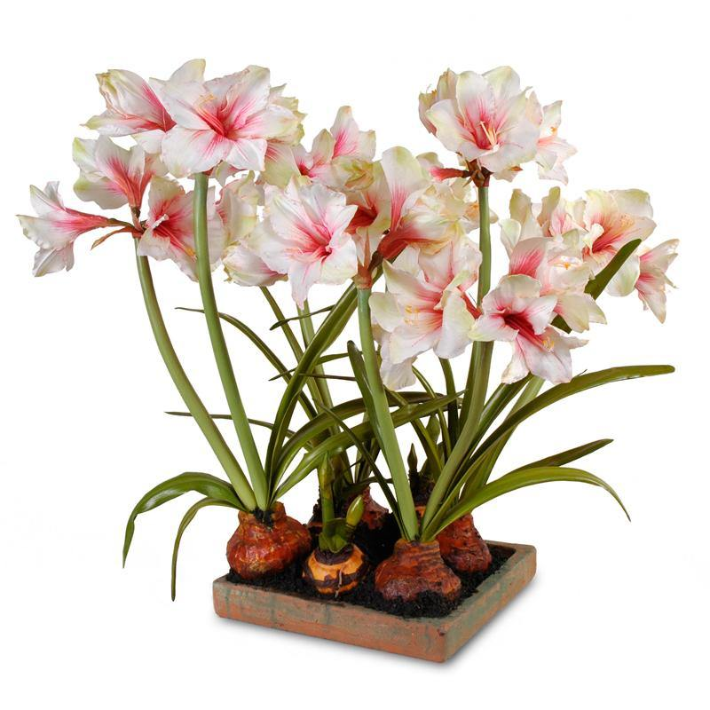 Amaryllis Arrangement - in Terracotta Tray