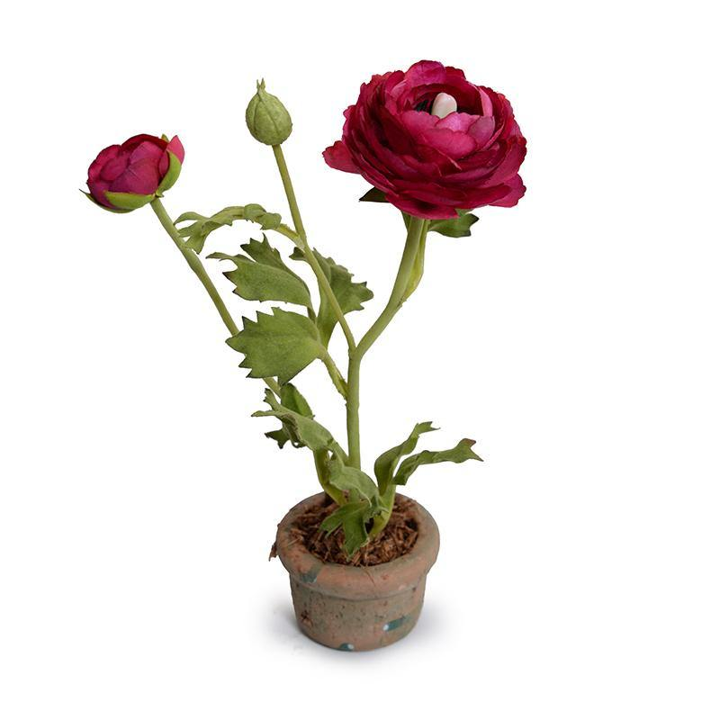 Ranunculus Mini Pot - Beauty