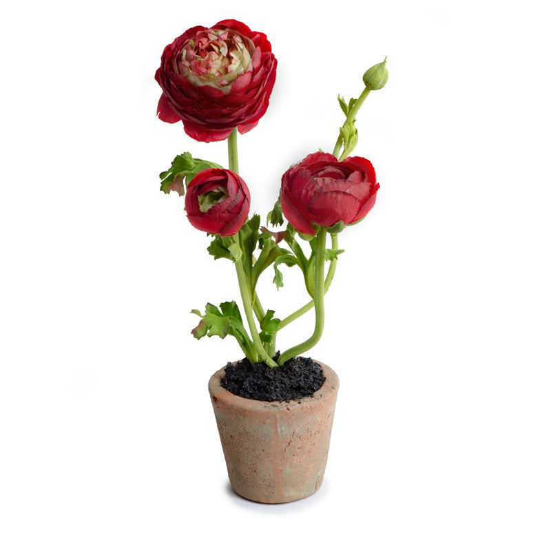 Ranunculus Mini pot